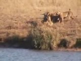 Lions, buffles et crocodiles: la bataille du lac de Kruger