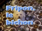 Fripon,le bichon-the Maltese dog
