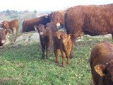 Calves male and female at Salers Breeding VINCENT PESCHER