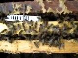 anasız kalmış arılar (kraliçesiz kalmış)