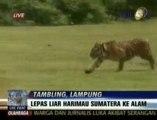 Deux tigres de Sumatra de retour à la jungle