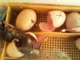 naissance des poussin dans une couveuse maison 6