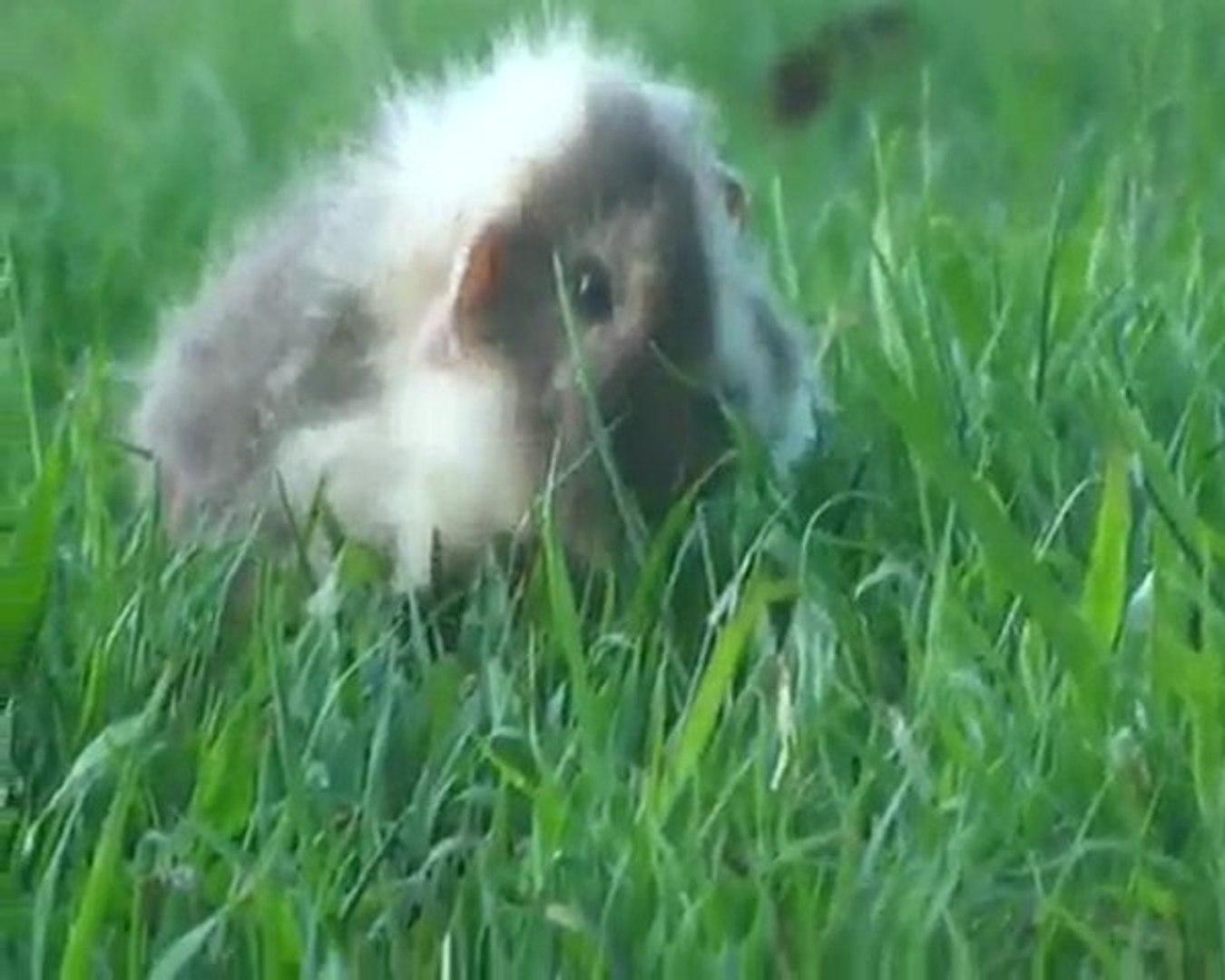 My Pet Baby Guinea Pig