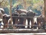 Thailande Les elephants jouent de la musique