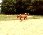bob cheval de trait a l obstacle 2