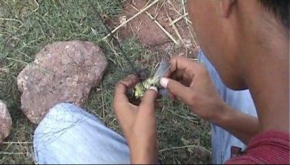 La complainte du chardonneret algérien