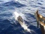 Dauphins large de Deshaies Guadeloupe Basse Terre Antilles
