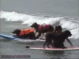 Surf Dog Ricochet: - Just can't get enough - surfing!