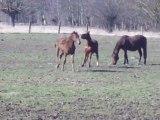 valmiki poulain cheval de selle