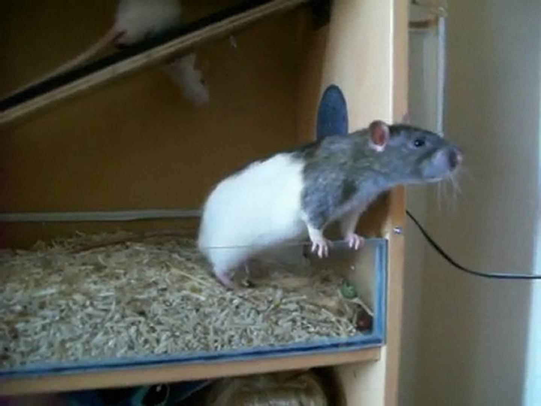 Cage Pour Rats Fait Maison Video Dailymotion