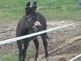 cadichon,l'âne le plus celebre du village!