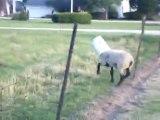 Un seau sur la tête d'un mouton