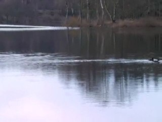 Canards étang La Crouzille_7119