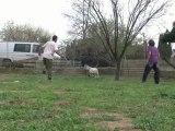 les chèvres sont parties
