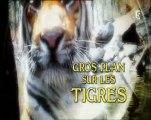 gros plan sur les tigres - apprentis chasseurs (1)