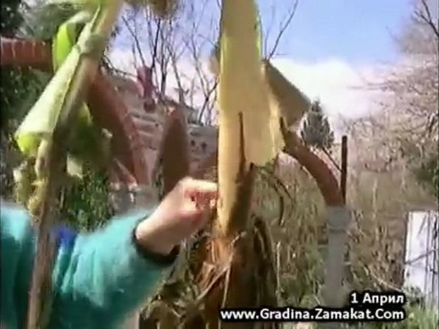 Бананова палма / зимоустойчив банан/