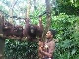 Zoo de Singapour goûter des Orangs-Outans