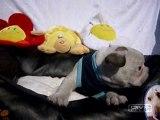 Franse Bulldog pups beschikbaar 06-04-2010