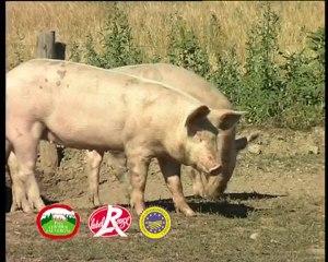 Porc Fermier d'Auvergne-Présentation