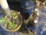 Cleaning out my Goldfish Pond. Goldfish Garden pond w/ Bryan