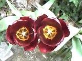 Le printemps des tulipes