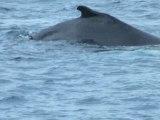 Dauphins et baleines Mai 2010