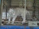 Tigres du Bengale - cirque