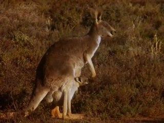 Le Retour Des Kangourous 1