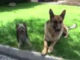 comprar (Cachorros Yorkshire) terrier mini Toy