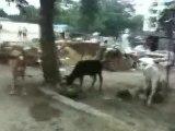 Vaches vivants avec les Gens en ville.