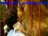 amour entre femme et un lion - lion embrasse la femme  ,