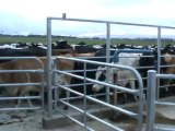 Traite des vaches en Nouvelle-Zélande.