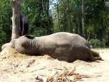 Elephant du zoo d'Amiens(mai 2010)