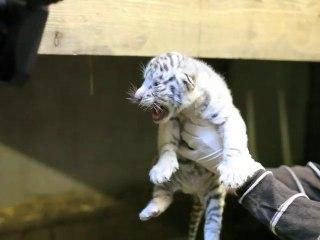 Naissance de deux bébés tigres blancs au zoo de Maubeuge