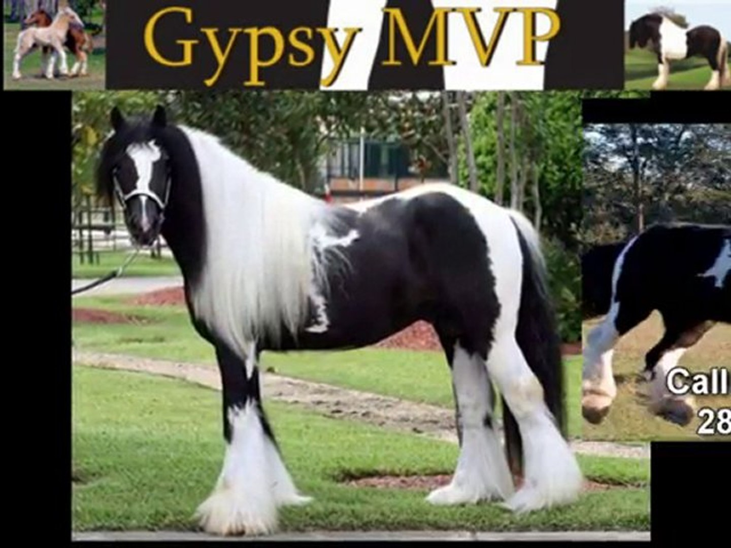 Sell Your Gypsy Vanner Horses