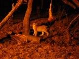 Luchs bei Nacht im Wildgehege Hellenthal