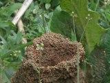 fête des mamans fourmis manioc
