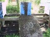 regroupement essaims abeilles 1