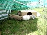photos lapins 340 bébés lapin bélier teddy angora