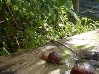 Escargots course 669