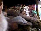 Biscotte , le lapin-Biscotte , the rabbit