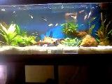 Aqua 120L de guppys et platys