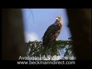Sea eagles and chicks with Gordon Buchanan in Scotland