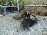 Bouba mon chien qui joue avec Eros le chien de ma tatie