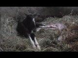 naissance de notre poulain Actarus