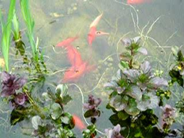 Bassin A Poisson Rouge la ponte des poissons rouges