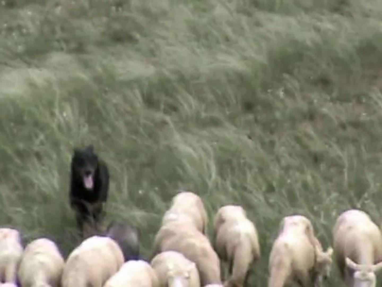 Urkan chien Beauceron à l'entraînement troupeau 2°