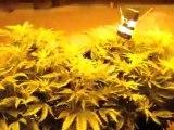 3  plants under 3,000 watts - medical cannabis