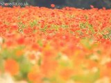 Field of Poppies Kent – Poppy Field