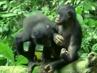 Kindness and Sexual Behaviours in Bonobos